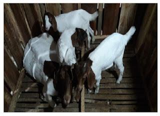 Kandang Kambing Domba  Kandang induk laktasi dengan 3 ekor anak