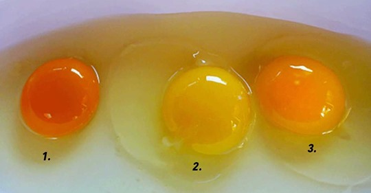 What egg yolk color can reveal about the chicken it came from ?