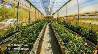 Cara menanam sayuran di kebun