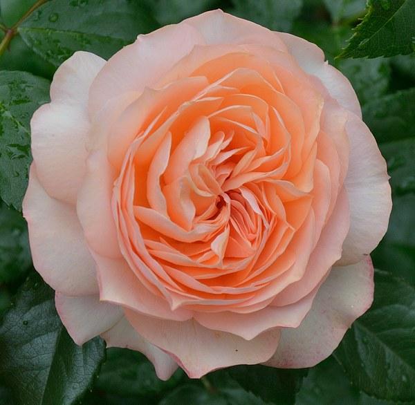 Sourire du Havre роза фото
