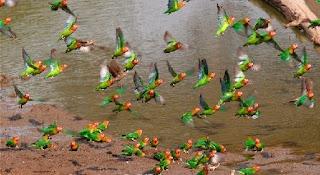 cara merawat lovebird buat lomba,cara merawat lovebird biar cepat gacor,cara membuat lovebird gacor di lapangan,cara agar lovebird gacor,lovebird gacor jantan atau betina,