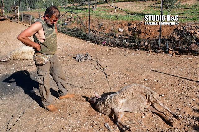 Άγρια σκυλιά κατασπάραξαν ολόκληρο κοπάδι αιγοπροβάτων στην Αργολίδα (βίντεο)
