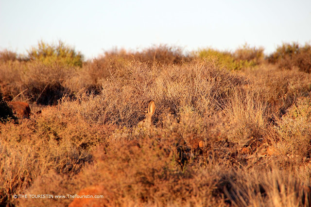 The head and ears of a hare sitting in thick bushveld.