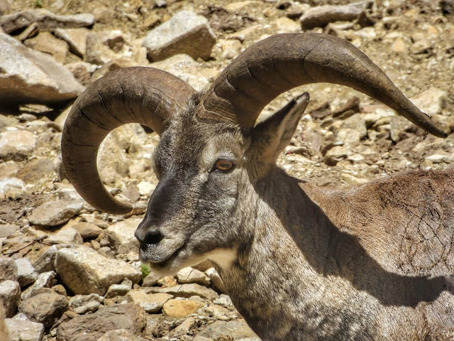 Bharal or Himalayan Blue Sheep