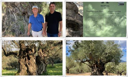 Δήμος Μεσσήνης:  Ανάδειξη των υπεραιωνόβιων ελιών στην Βασιλάδα