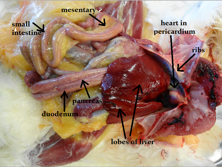 Animal Science Chicken Dissection Gastrointestinal System