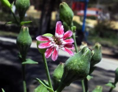 Αποτέλεσμα εικόνας για Silene holzmannii