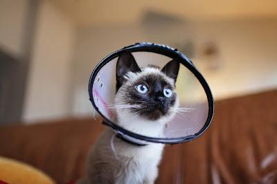 Does Your Pet Wear a Cat Flea Collar?