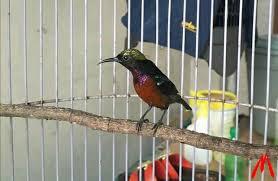 Cara Mengatasi Burung Kolibri Ninja Konin yang Macet Bunyi