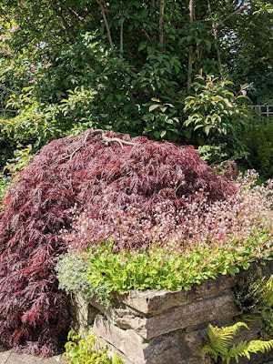 Acer palmatum Dissectum Garnet in the raised bed, end on.
