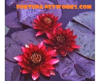 """<img src=""""fortunanetworks.com.jpg"""" alt=""""Inilah Cara Mudah Penanaman Tanaman Teratai"""">"""