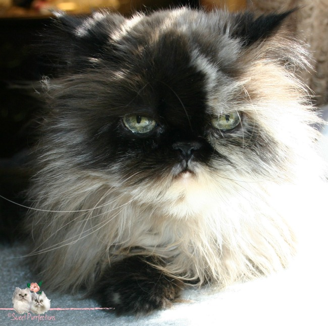 Tortoiseshell Persian, Praline, with green eyes and vertical pupils