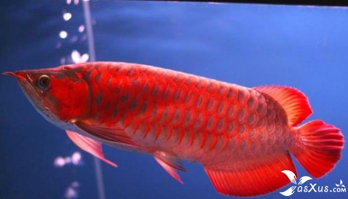 10 Jenis Ikan Arwana Termahal Beserta Gambar, Nama, dan Ciri-cirinya
