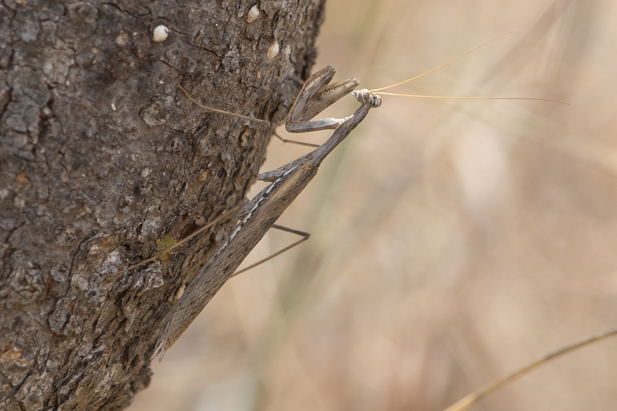 Fairy Mantis – Tanoumah