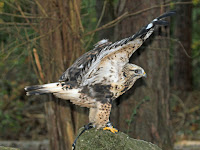 Rough-legged Hawk, wings open – Carolina Raptor Center, NC – Oct. 2011 – photo by Dick Daniels