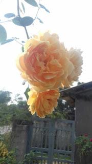 hương thơm của hoa hồng leo graham thomas có vị sả chanh và trà xanh kết hợp