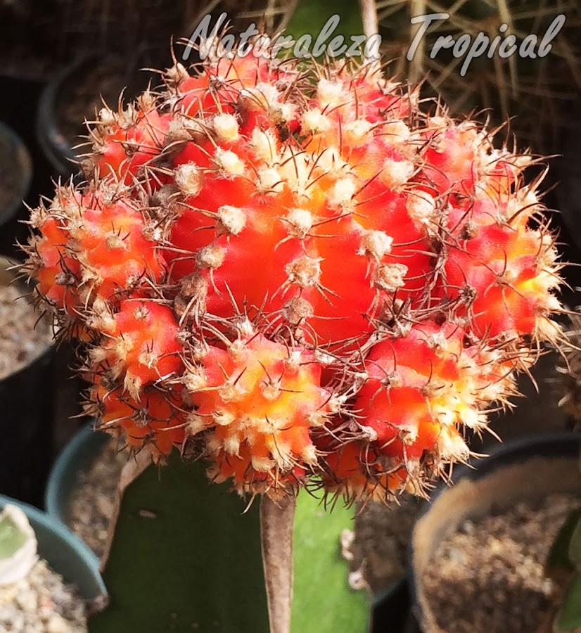 Cactus con numerosas plantas hijas, color naranja, Gymnocalicium mihanovichii
