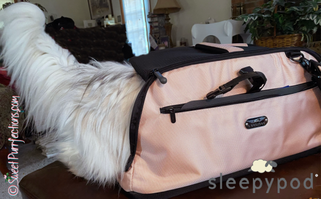 silver shaded Persian cat, Truffle, walking into Sleepypod Air