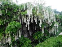 Glicynia w ogrodzie nieborowskim