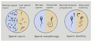 Vitamin C membantu dalam menambah bilangan sperma, meningkatkan pergerakan sperma serta mengukuhkan kualiti sperma