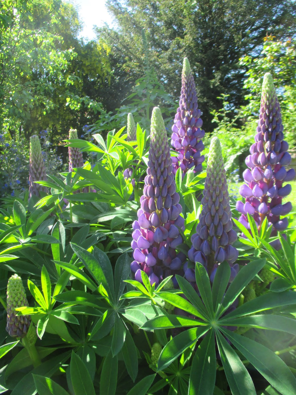 Lupins in our Cottage Garden