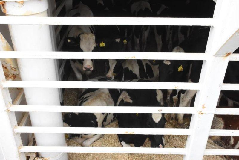 Más de 6 mil vaquillas se fueron a China