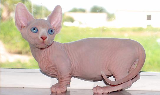 Mengenal Kucing Bambino Salah Satu Jenis Kucing Persilangan Munchkin Blog Kucing Munchkin