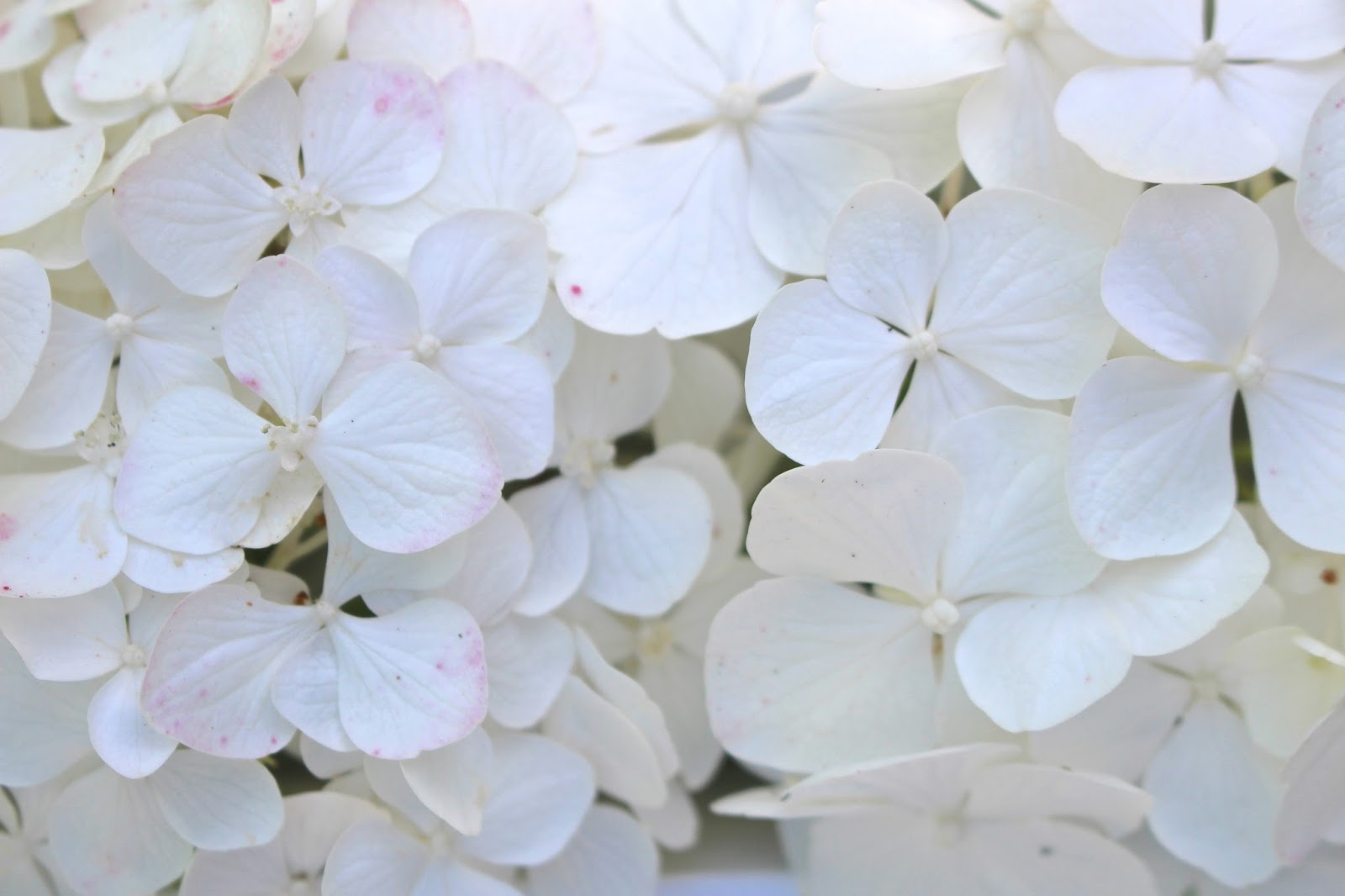 Hydrangea white flower photography
