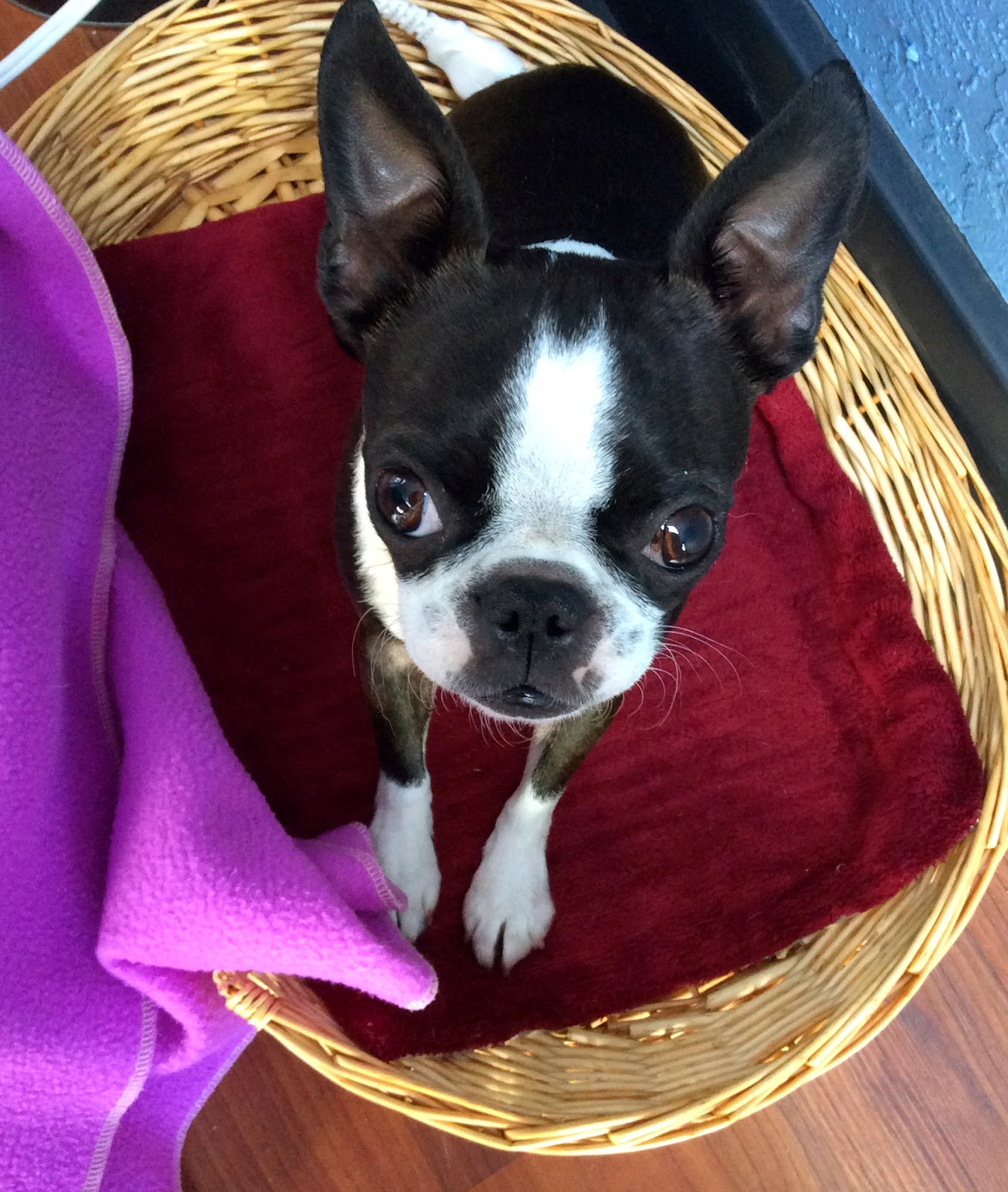 Sinead the Boston terrier in her bed