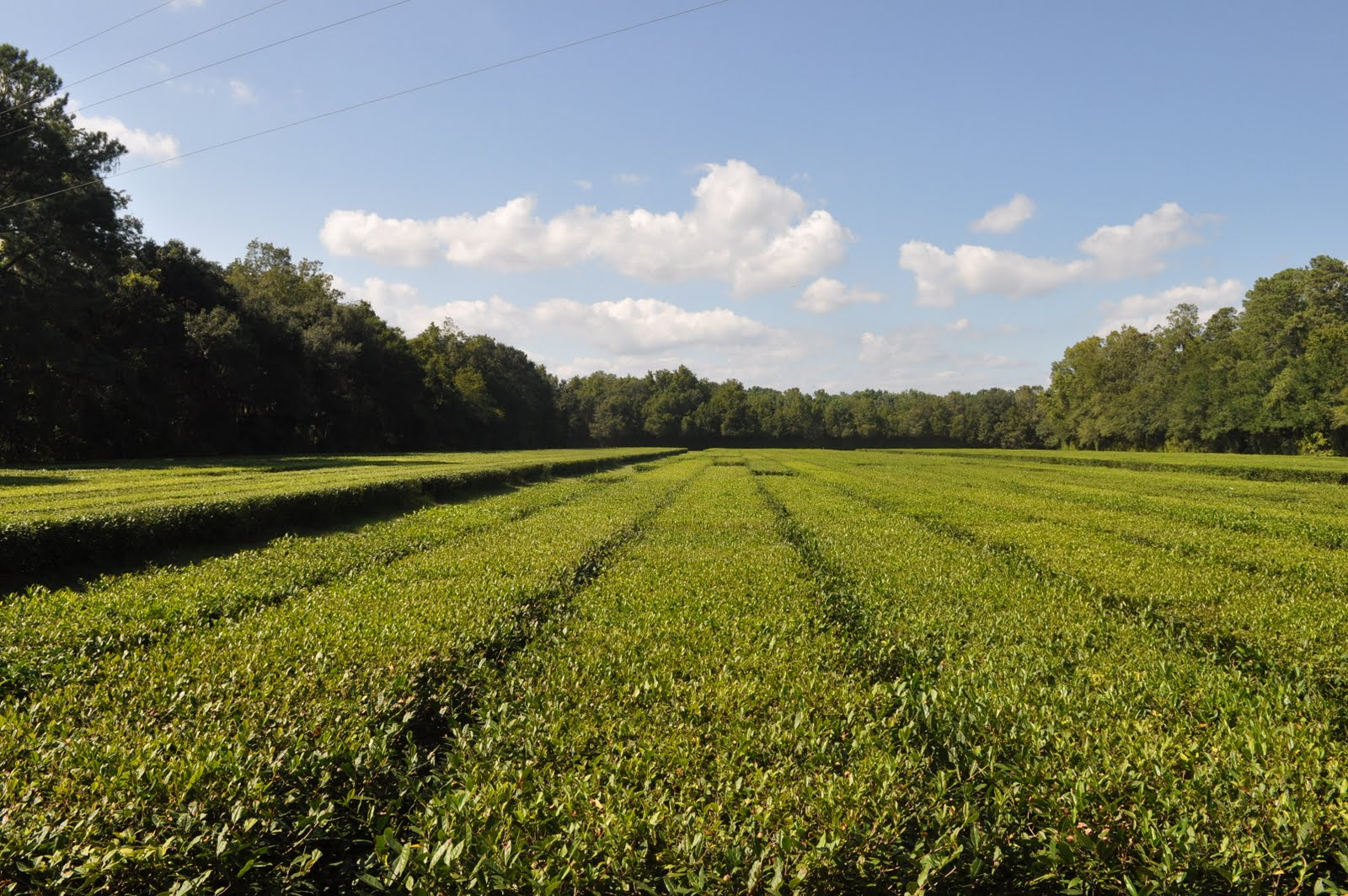Wilton Diaries: Charleston Tea Plantation