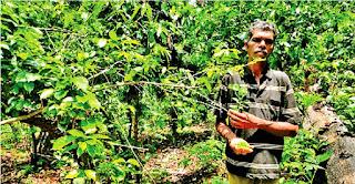 जगतपुर का कॉफी बागान हुआ उपेक्षा का शिकार