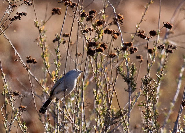 California Gnatcatcher in chamise