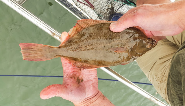 Photo of Phile examining the flatfish before returning it to the water