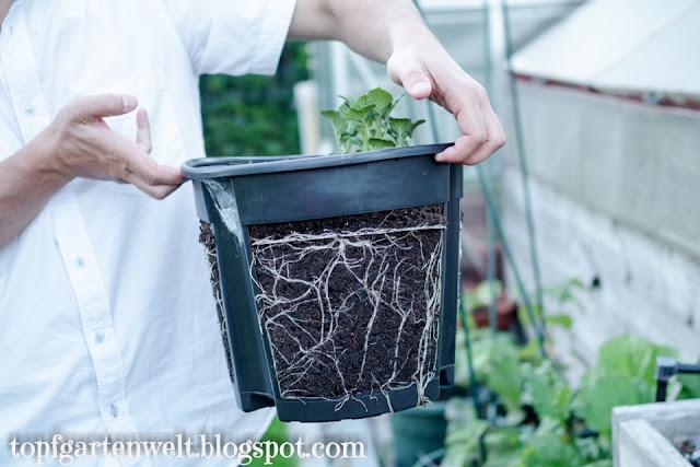 Kartoffel Entwicklung nach 2 Wochen | Gartenblog Topfgartenwelt