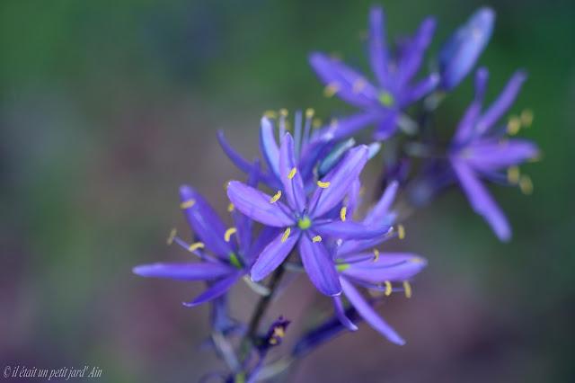 camassia danube bleu