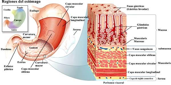 Sistema digestivo humano estómago
