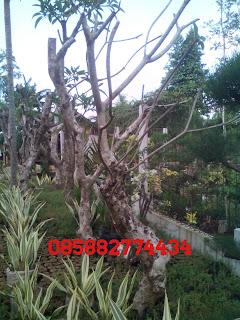 kami tukang taman murah menjual pohon kamboja fosil batang besar warna bunga kuning bali, merah kecap, putih salju, treecolour dengan harga paling murah