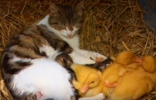kucing yang mengadopsi anak bebek dan merawatnya hingga besar
