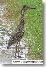 Yellow-crowned Night Heron (Nyctanassa violacea) juvenile