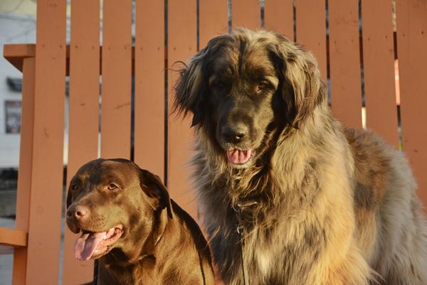 brun labrador leonberger