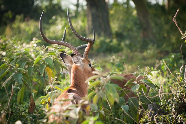 Impala; Lake Nakuru NP, Kenya