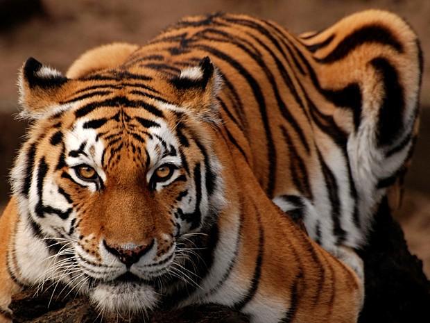 População de tigres na Índia cresce mais de 30% em quatro anos