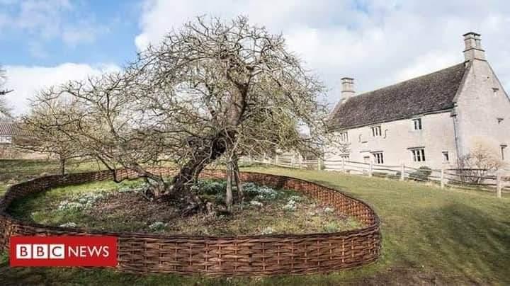 (Isaac Newton's Apple Tree - Cambridge Botanic Garden, England. BBC news)