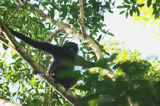 Bornean Gibbon / ミューラーテナガザル