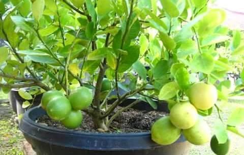 Tanaman buah yang cocok di tanam dengan sistem tambulapot