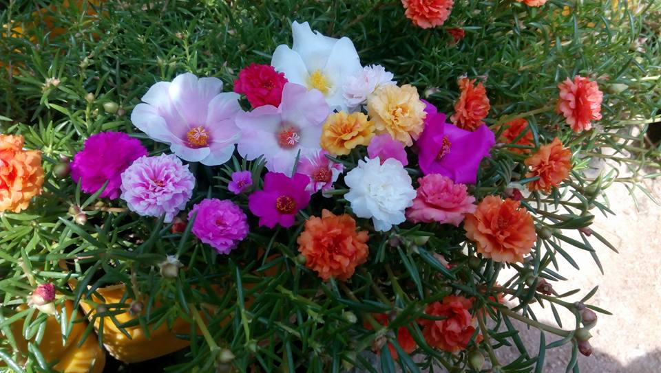Gambar Macam Macam Bunga Krokot Gambar Bunga