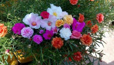 moss rose alias krokot koleksi Rumah Bunga Neisha
