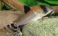 Jenis Ikan Corydoras condiscipulus