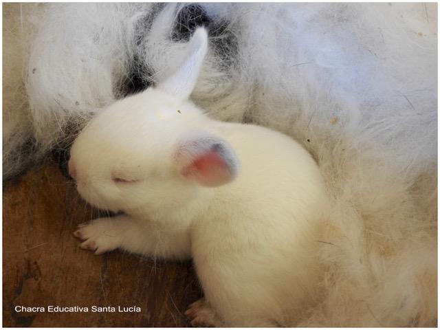 Conejo recién nacido - Chacra Educativa Santa Lucía