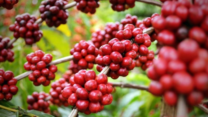 Café | Origem e Produção de Café